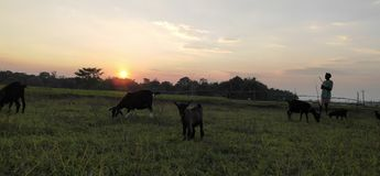Sunset Time. Goat keeper Be On Duty royalty free stock photography