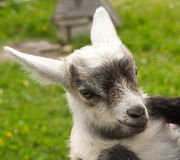Goat kid. Photo of kid of goat Stock Images