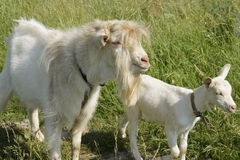 Goat with kid. Nasutsya in the meadow Royalty Free Stock Images