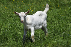 Goat  kid Royalty Free Stock Photography