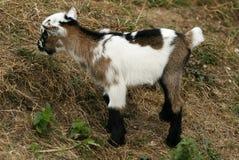 Goat kid Stock Photo