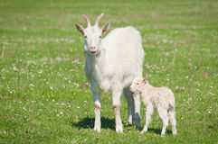 Goat and kid Royalty Free Stock Images