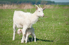 Goat and kid Royalty Free Stock Image