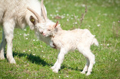 Goat and kid Stock Photo