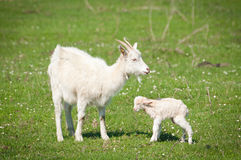 Goat and kid Royalty Free Stock Photography