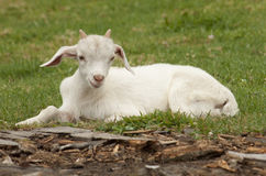 Goat Kid. A young goat/kid laying in a paddock Royalty Free Stock Images