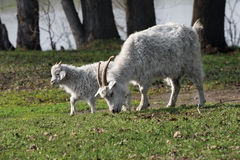 Goat and kid. White goat and kid are grazed on a meadow Royalty Free Stock Photo