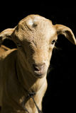 A goat kid. A young goat against a black background Royalty Free Stock Photo