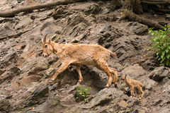 Goat and kid. Brown goat and little kid walk on sheer rock stock photos