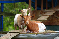 Goat with kid Stock Image