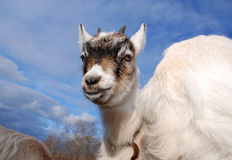 Goat kid with atitude. Goat kid against blue sky Royalty Free Stock Image
