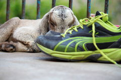 Goat kid behind pair of shoes. New born goat kid sleeping behind pair of green black shoes stock images