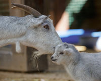 The goat and kid Stock Photo