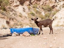 Goat Kid drinks some water royalty free stock image