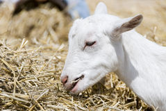 Goat kid eating Royalty Free Stock Image