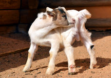 Goat kid Stock Photos