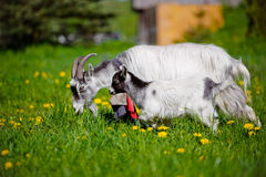 Goat with a kid on a field Stock Images