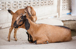 Goat and kid goat Royalty Free Stock Photography
