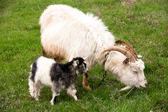 Goat with a kid is grazing on green grass Stock Photos