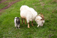 Goat with a kid is grazing on green grass Royalty Free Stock Photos