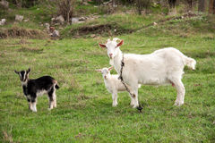 Goat with a kid is grazing on green grass Royalty Free Stock Image