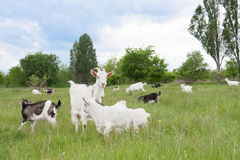 Goat with a kid is grazing on green grass Stock Images