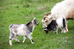 Goat with a kid is grazing on green grass Royalty Free Stock Photography