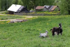A goat with a kid grazing in a meadow royalty free stock photography