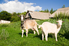 Goat and  kid  on the green grass Stock Photos