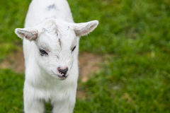 Goat kid on green grass Stock Photos