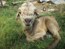 Goat kid. Happy goat kid only 5 min. Old Stock Photos