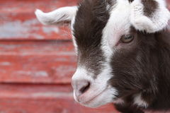 Goat Kid II Royalty Free Stock Images
