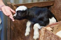 Goat kid licks hand of man on farm Royalty Free Stock Photo