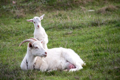Goat with the kid lie on green grass Royalty Free Stock Photo
