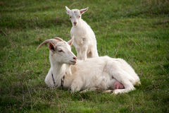 Goat with the kid lie on green grass Royalty Free Stock Photos