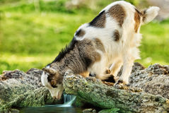 Goat kid looking in it's reflection in the stream Royalty Free Stock Images