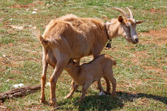 Goat and kid. Mother goat feeding baby goat Royalty Free Stock Images