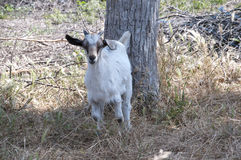 Goat Kid on Nature Reserve at Skala Kalloni Lesvos Greece Stock Images