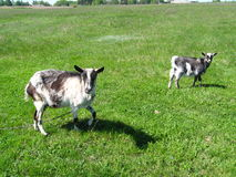 Goat and kid on a pasture Stock Photo