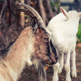 Goat and kid Stock Photography
