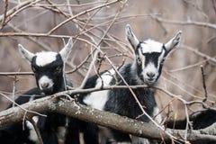 Goat kid Royalty Free Stock Image