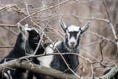 Goat kid Royalty Free Stock Photos