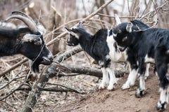 Goat kid Royalty Free Stock Photo