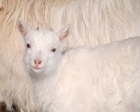 Goat kid smile. Goat kid smiling with her mother in background Stock Photography