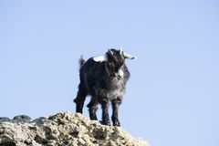 Goat kid Stock Photography