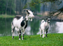 Goat with kid Stock Photos