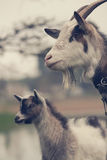 Goat with kid Stock Photography