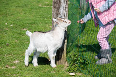 Goat kid Royalty Free Stock Images