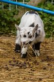 Goat kid. A young dalmatian goat kid outside in an enclosure Stock Image