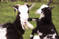 Goat with a goat-kiddy in the nature. stock photos
